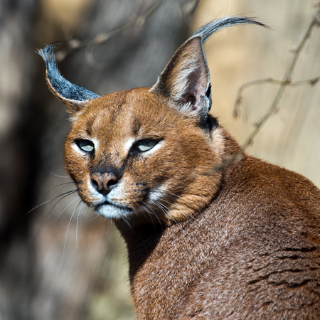 A close-up of the head of a caracal.  Stock Photo