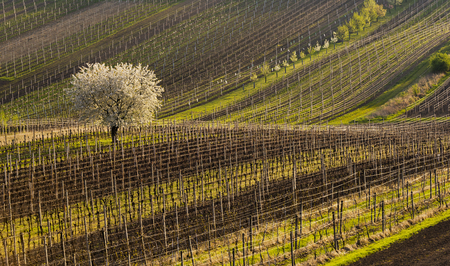 moravia: Spring landscape with vineyards. South of Moravia, Czech Republic.