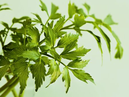 Leaves of lovage on light green background