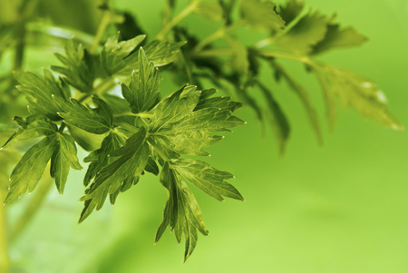 Leaves of lovage on the green background