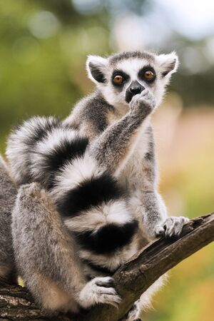 A ring-tailed lemur sitting on a branch (Lemur catta)