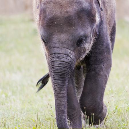 Een close-up van het hoofd van een jonge olifant (Aziatische of Aziatische olifant)