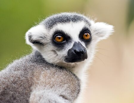 A closeup of the head of a ring-tailed lemur (Lemur catta) Stock Photo