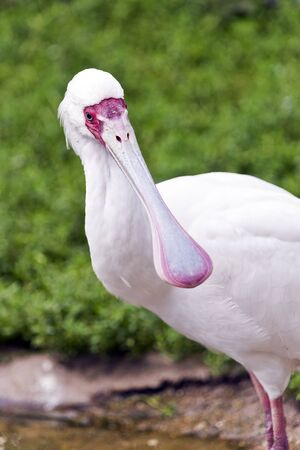A closeup of the head of a spoonbill (long-legged wading bird)