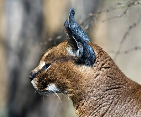 The head of a caracal. Side view.