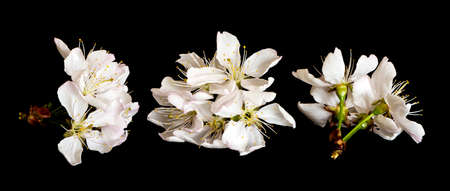 The shot of cherry blossoms on a black background