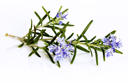 A rosemary herb with flowers and buds on a white background