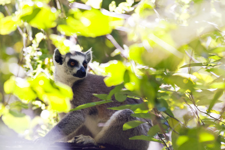 A ring-tailed lemur sitting in a tree. Madagascar