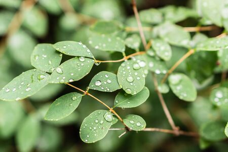 Raindrops on green leaves, morning dew on leaves Фото со стока - 131971162