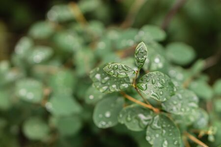 Raindrops on green leaves, morning dew on leaves Фото со стока - 131971128