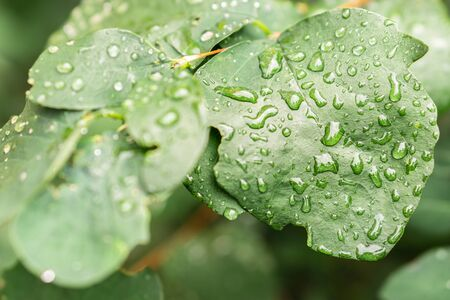 Raindrops on green leaves, morning dew on leaves Фото со стока - 131971192