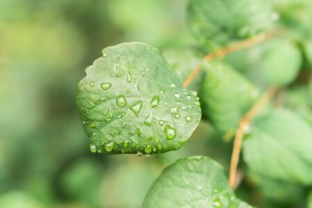 Raindrops on green leaves, morning dew on leaves