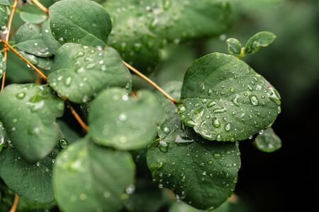 Raindrops on green leaves, morning dew on leaves Фото со стока - 131972700