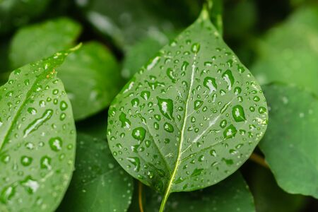 Raindrops on green leaves, morning dew on leaves in the garden