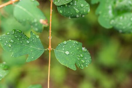 Raindrops on green leaves, morning dew on leaves in the garden Фото со стока - 131971094