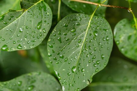 Raindrops on green leaves, morning dew on leaves in the garden Фото со стока - 131973202