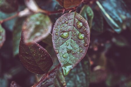 Raindrops on a macro of green leaves and grass. Dew on the green. Natural background with toning and selective focus.