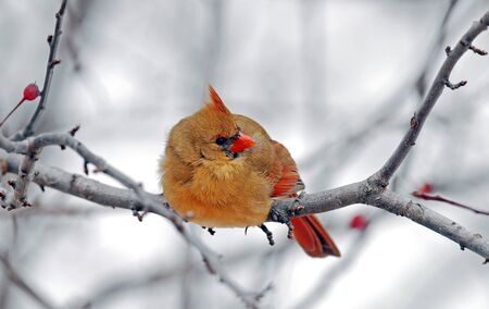 female cardinal: Closeup of female cardinal in winter