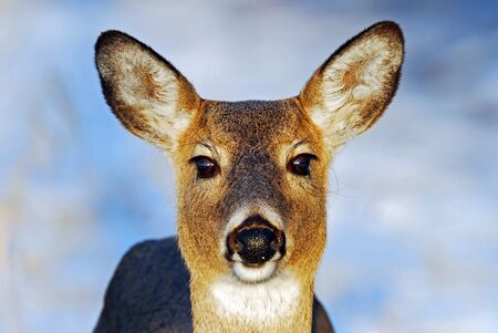 white tail deer: Closeup of white tail deer