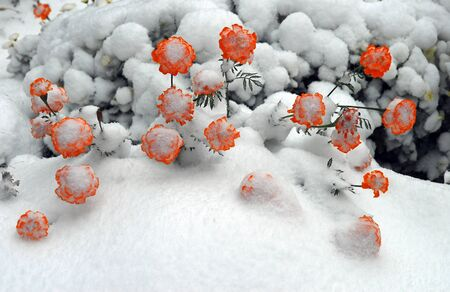 Last flowers of autumn caught in first snowfall of winter Stock Photo - 8370501