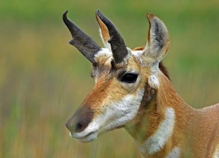 observant: Closeup of pronghorm antelope Stock Photo