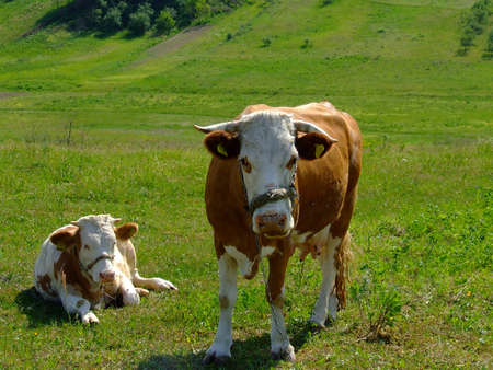 two cows in green field