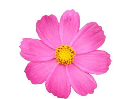 rosa Bl�te isoliert in Wei�