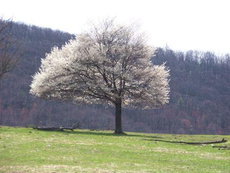 Spring Tree in Bloom Stock Photo