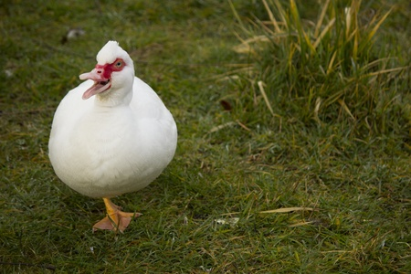 muscovy duck: Muscovy duck (Cairina moschata) on farm with grass in background