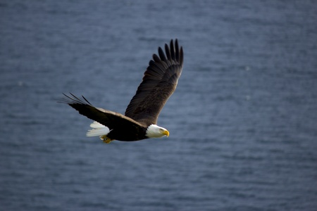Bald eagle flying against ocean background