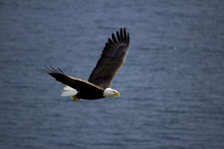 soaring: Bald eagle flying against ocean background