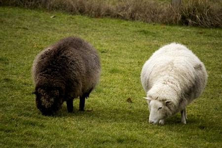 merino sheep: Black and white sheep grazing on green grass field