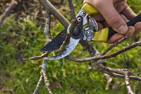 pruning shears: Hard at work Prunning apple tree in the spring