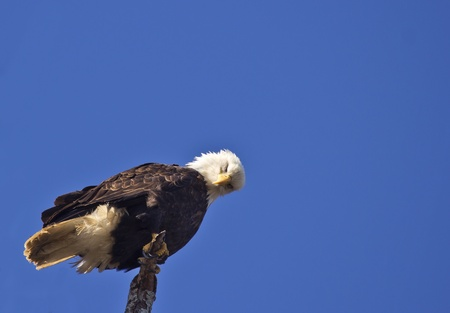 majestic bald eagle perched on bare tree branch stock photo picture