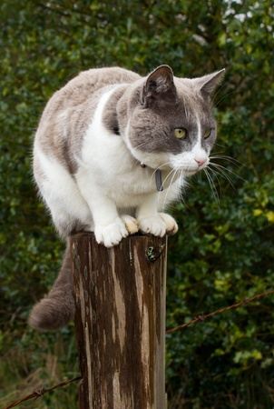 calico whiskers: Grey and white cat sitting on farm fence post