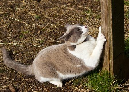 Weiße und graue Katze Krallen schärfen auf Zaunpfosten Standard-Bild - 12679944