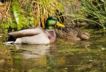 platyrhynchos: Mallard Ducks (Anas platyrhynchos) relaxing in pond Stock Photo