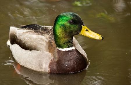 Mallard Ducks (Anas platyrhynchos) relaxing in pond Stock Photo
