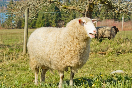 fluffy ears: White ewe standing by fence with ram in background Stock Photo