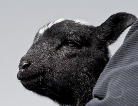 Head of black lamb being held with care Stock Photo - 12982219