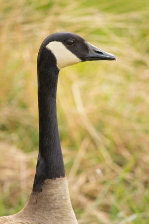 goose head: Close up of canada goose head and kneck with grass background