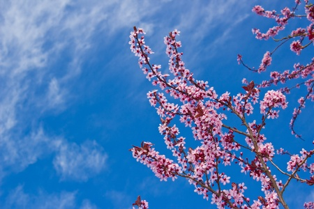 japan sky: Cherry blossoms blooming in springtime against blue sky
