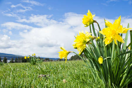 bluer: Yellow Daffodils with blue cloud sky in background Stock Photo