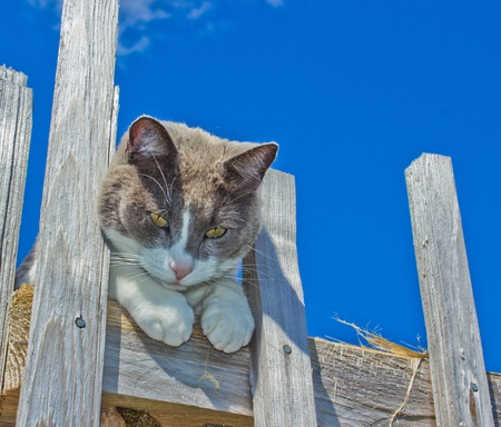 Grey and White cat laying on fence post with blue sky in background photo