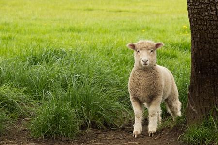 Weiße Schafe Lamm stand auf der Weide neben Baum Standard-Bild - 13570406