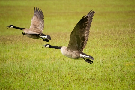 Geese taking off from grass field photo