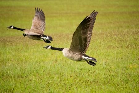 ocas: Los gansos que parten del campo de hierba Foto de archivo
