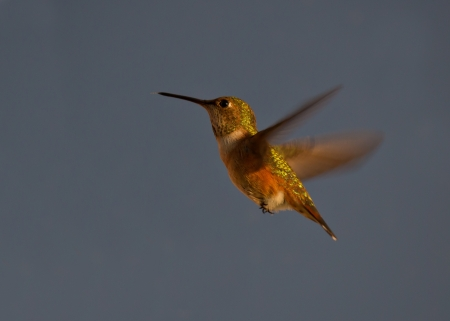 ruby throated: Beautiful Hummingbird hovering in mid air Stock Photo