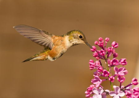 ruby throated: Beautiful Hummingbird hovering in mid air while drinking from flower