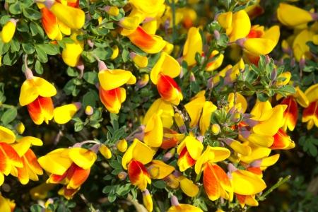 Rot und gelb blühende Ginster im Frühling Standard-Bild - 13913462